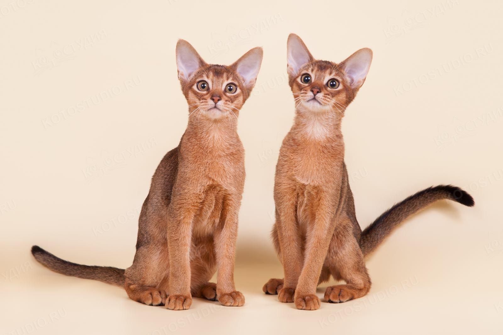 Абиссинские кошки подростки