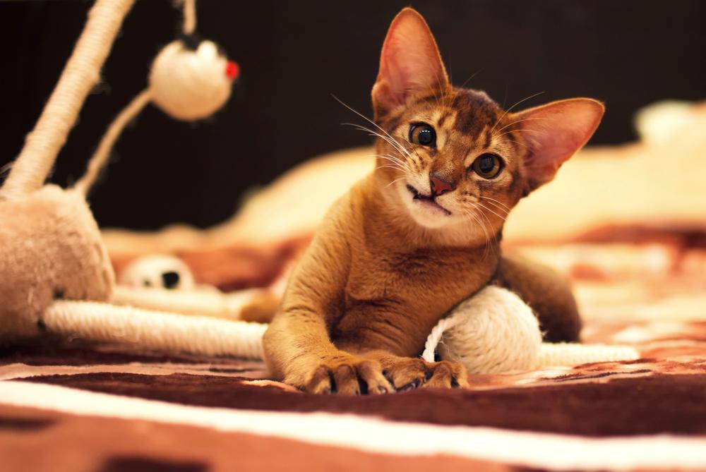 Хищный оскал абиссинской кошки