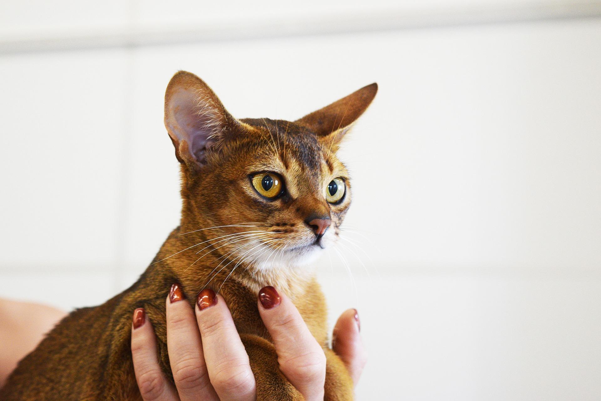 Абиссинская кошка с желтыми глазами