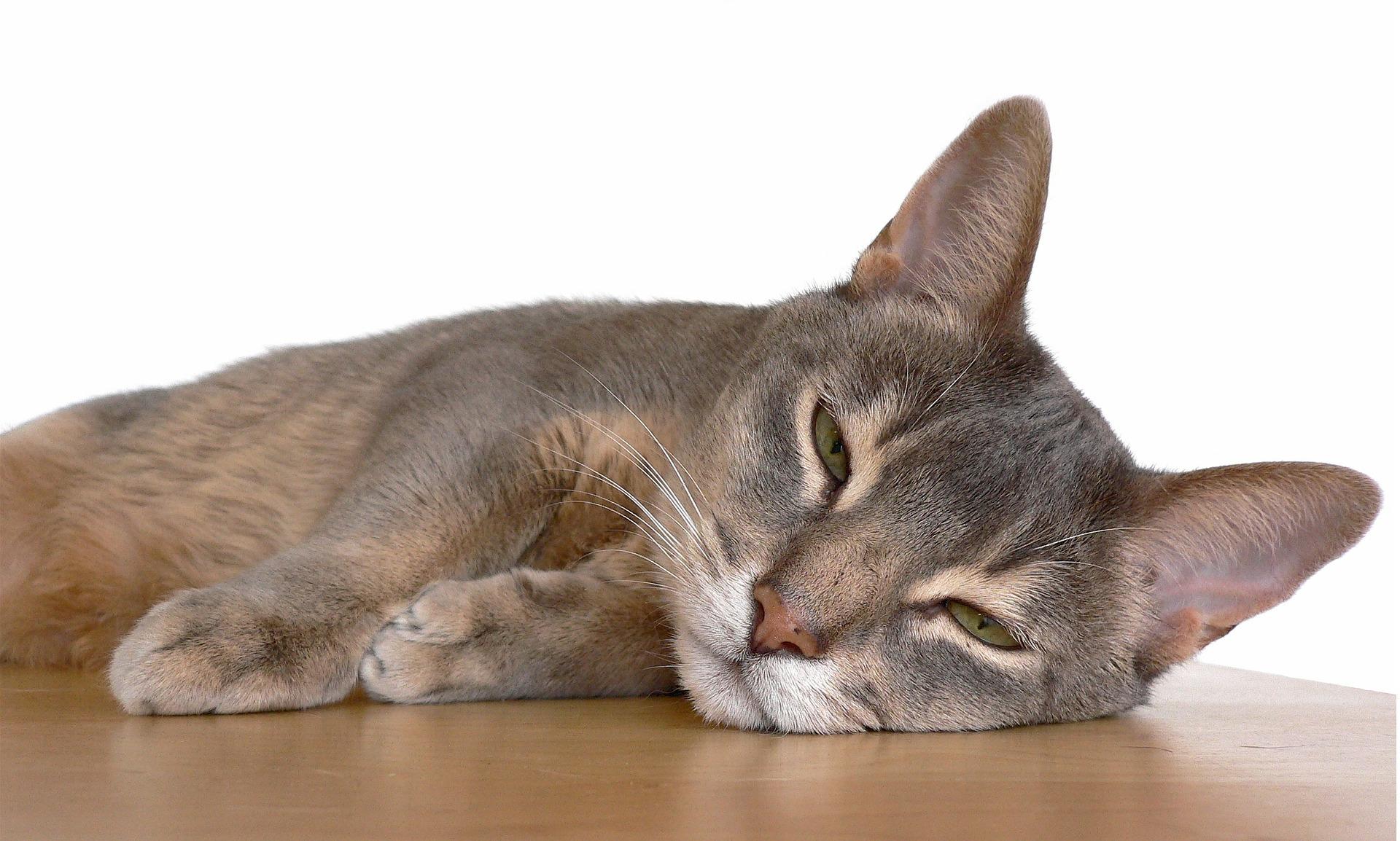 Серебристая абиссинская кошка