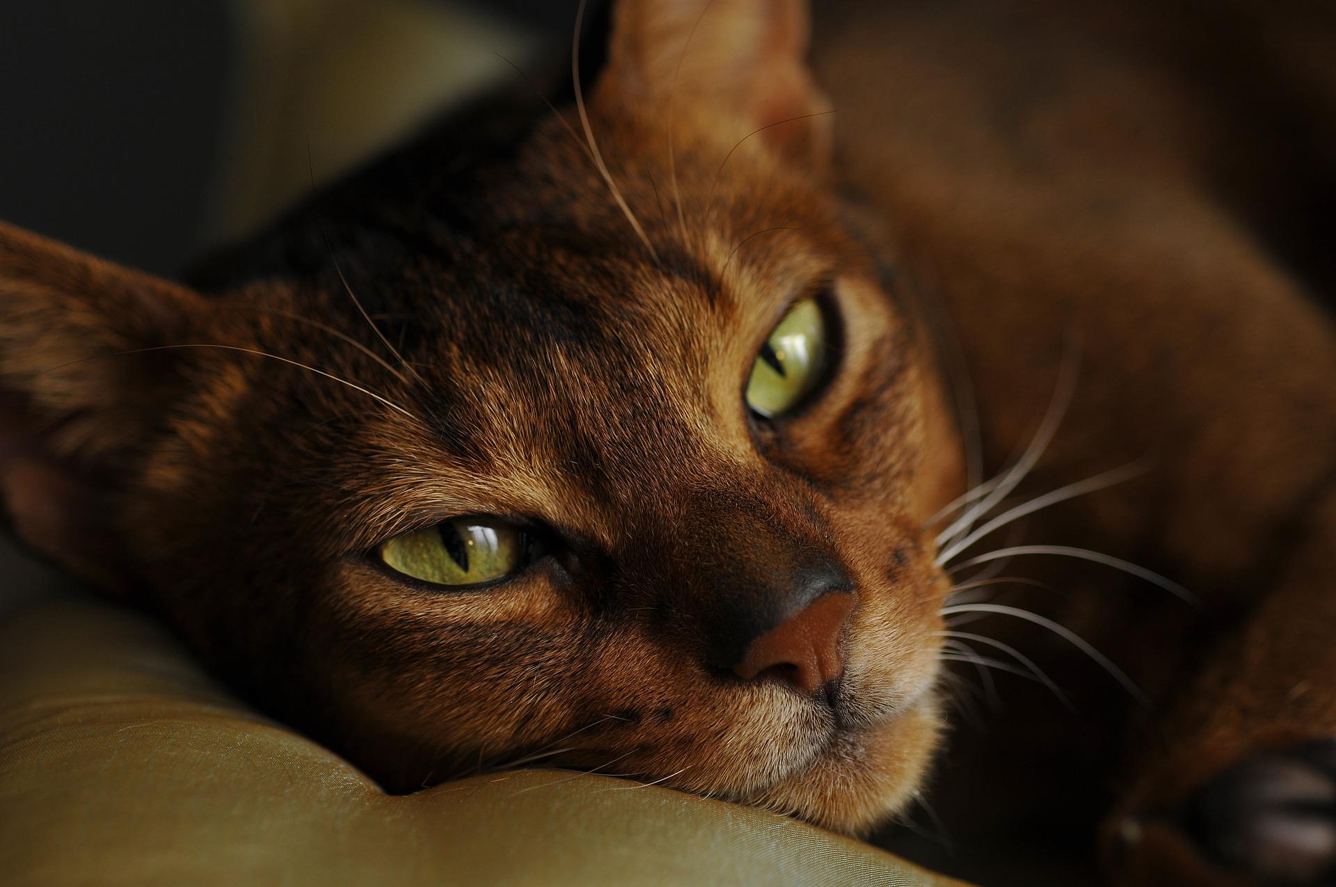 Абиссинская кошка с независимым характером