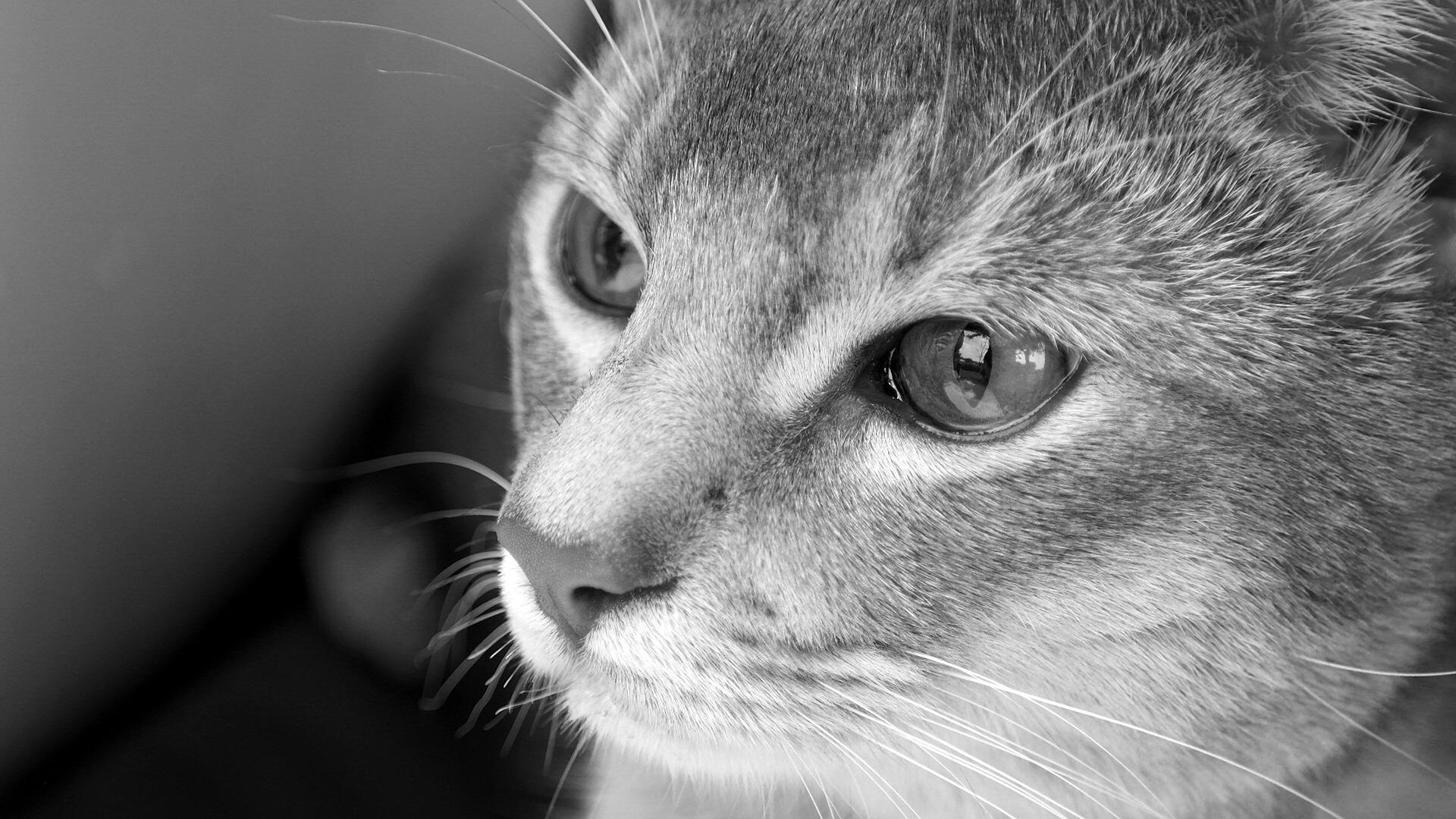 Абиссинская кошка история породы