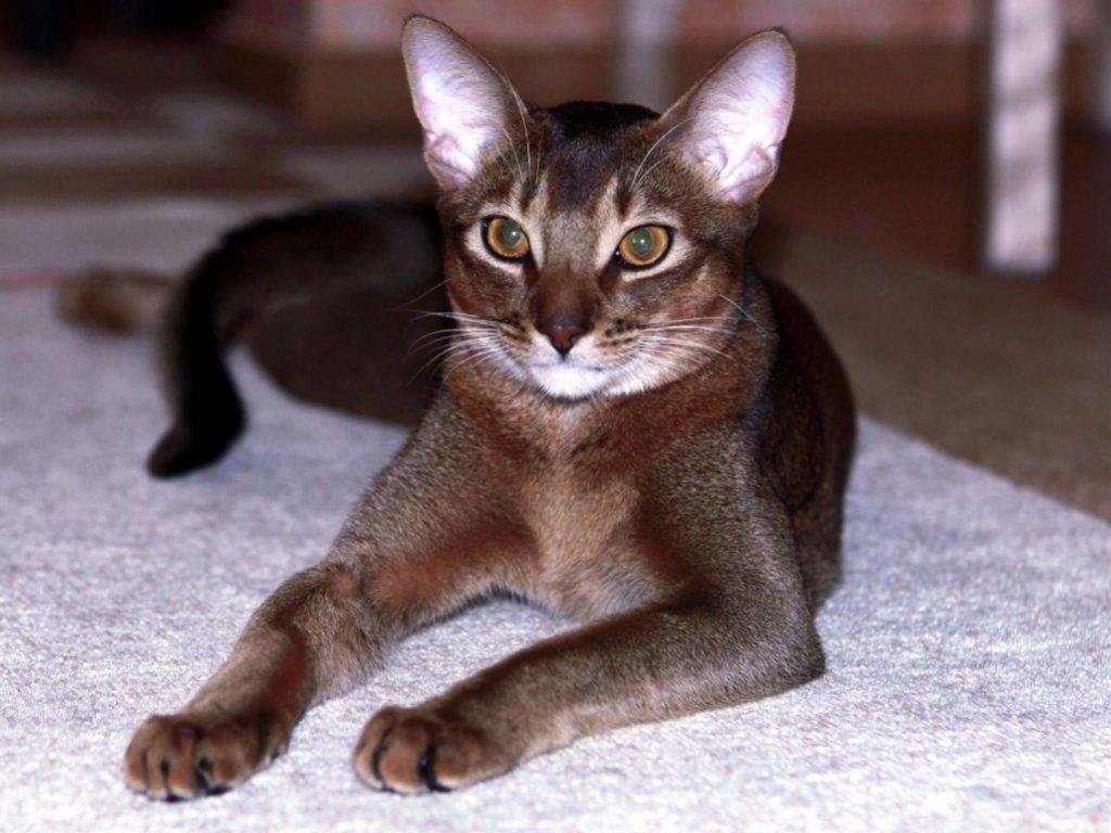 Красота и грация абиссинской кошки