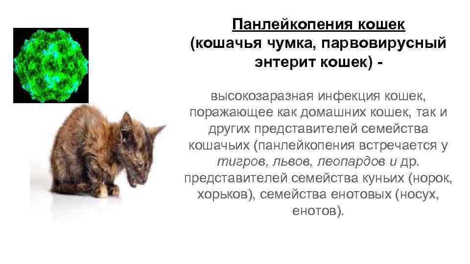 Панлейкопения у кошек