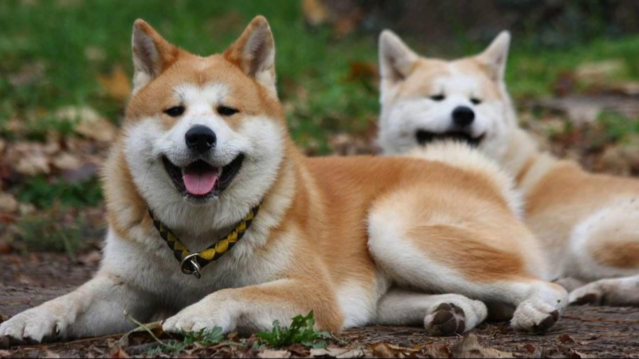Пара собак акит-ину