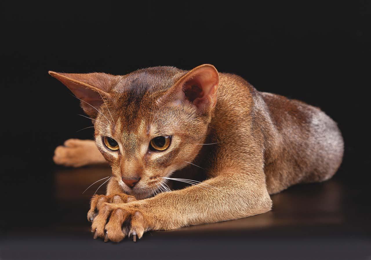 Сосредоточенность абиссинской кошки
