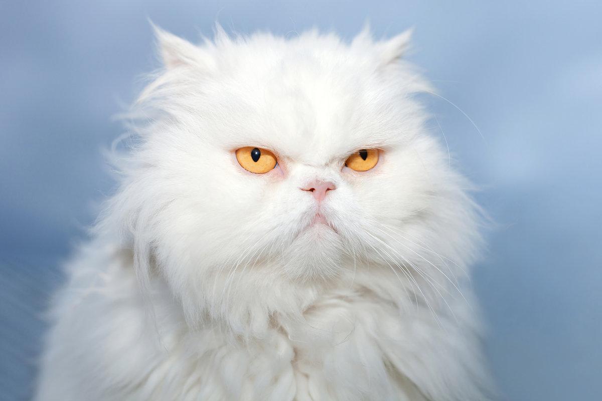 Серьезный персидский кот