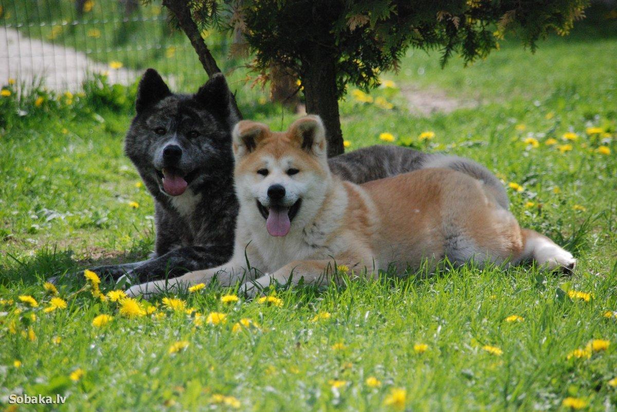 Тандем собак акит-ину