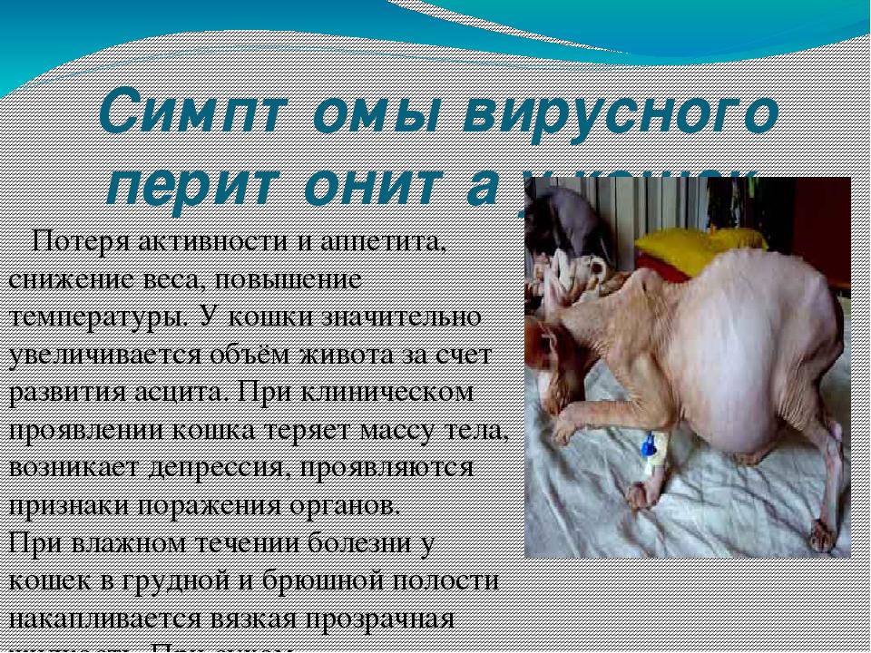 Симптомы ФИП у кошек