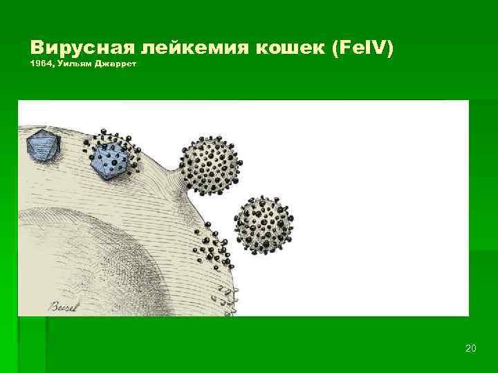 Вирус лейкоза