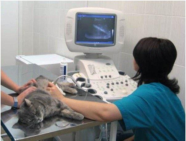 Диагностика ХПН у кошек