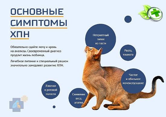Хроническая почечная недостаточность у кошек: симптомы