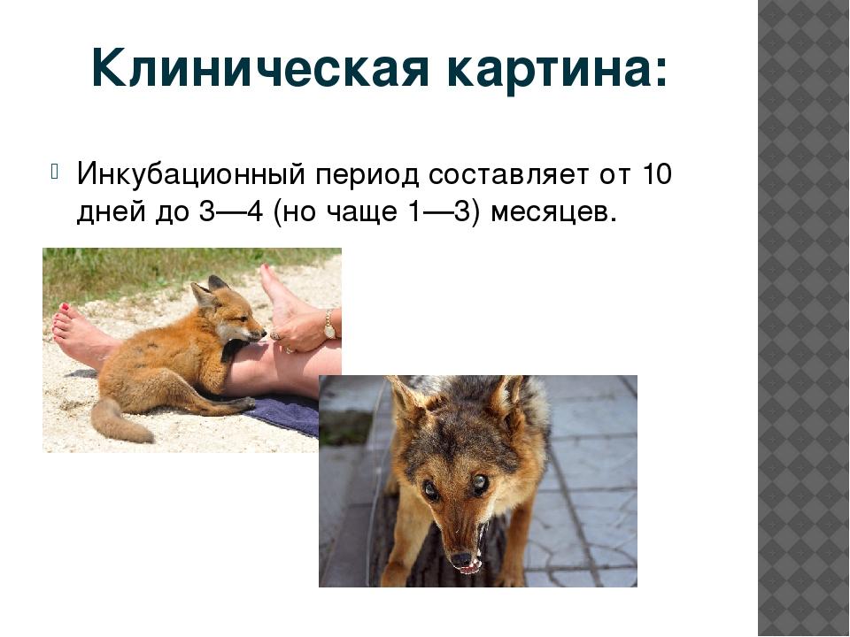 Бешенство у собак: инкубационный период