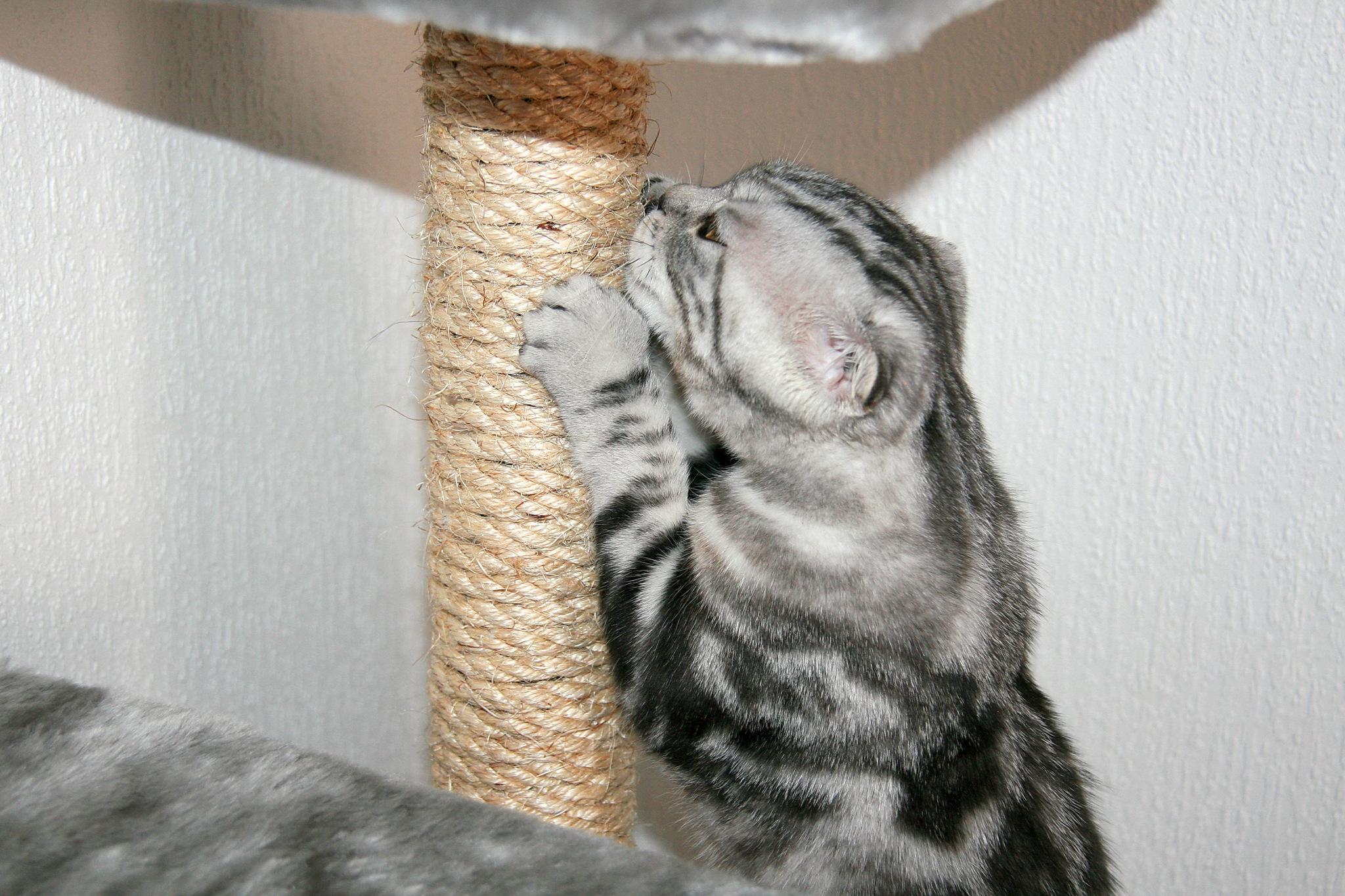 Американская короткошерстная кошка точит когти