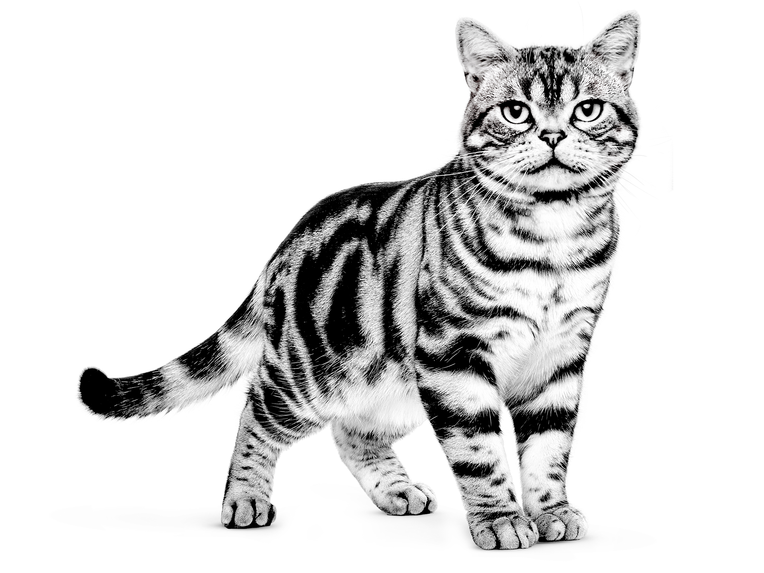 Первая американская короткошерстная кошка