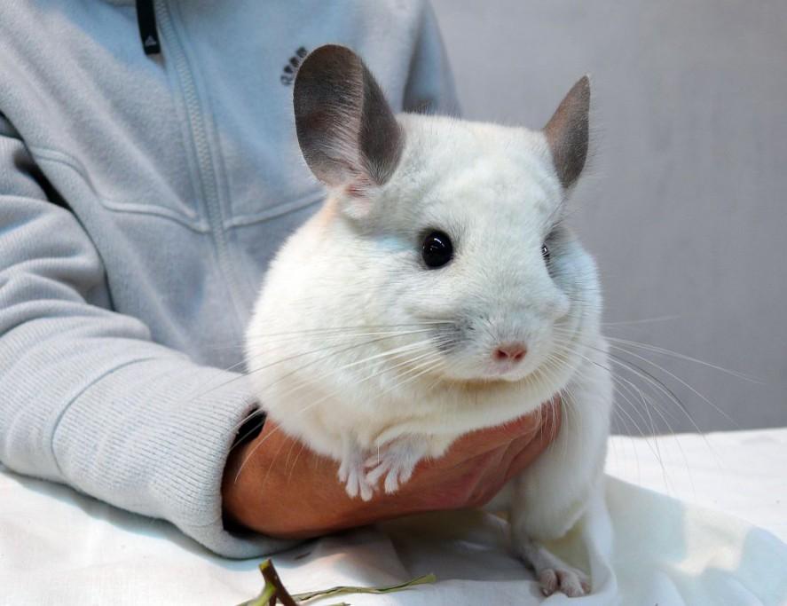 Породы шиншилл: белый вильсон