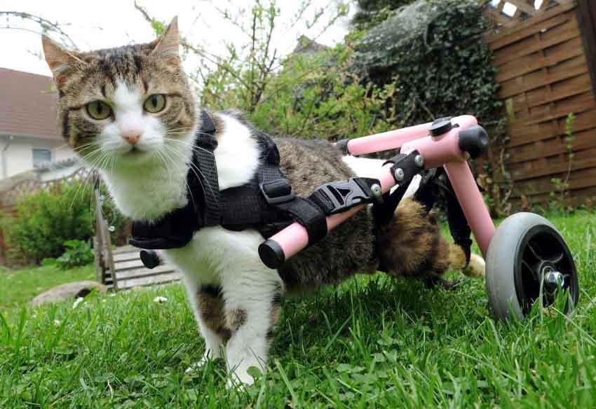 Отказ задних лап у кошки