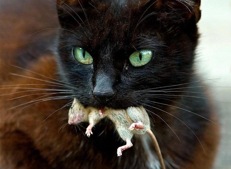 Кошка отравилась крысиным ядом