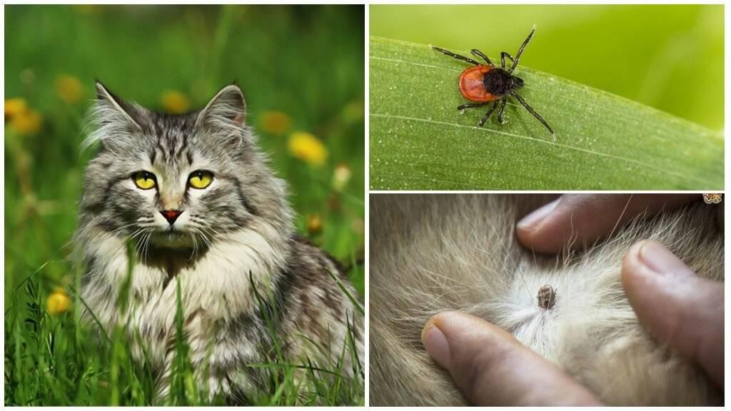 Энцефалит у кошек